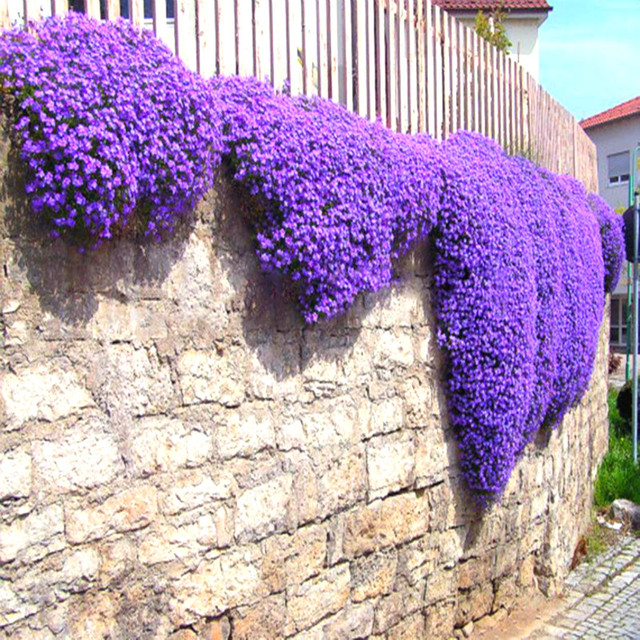 Rock cress 100 pcslot aubrieta cascade purple flower plants superb rock cress 100 pcslot aubrieta cascade purple flower plants superb perennial ground cover for mightylinksfo