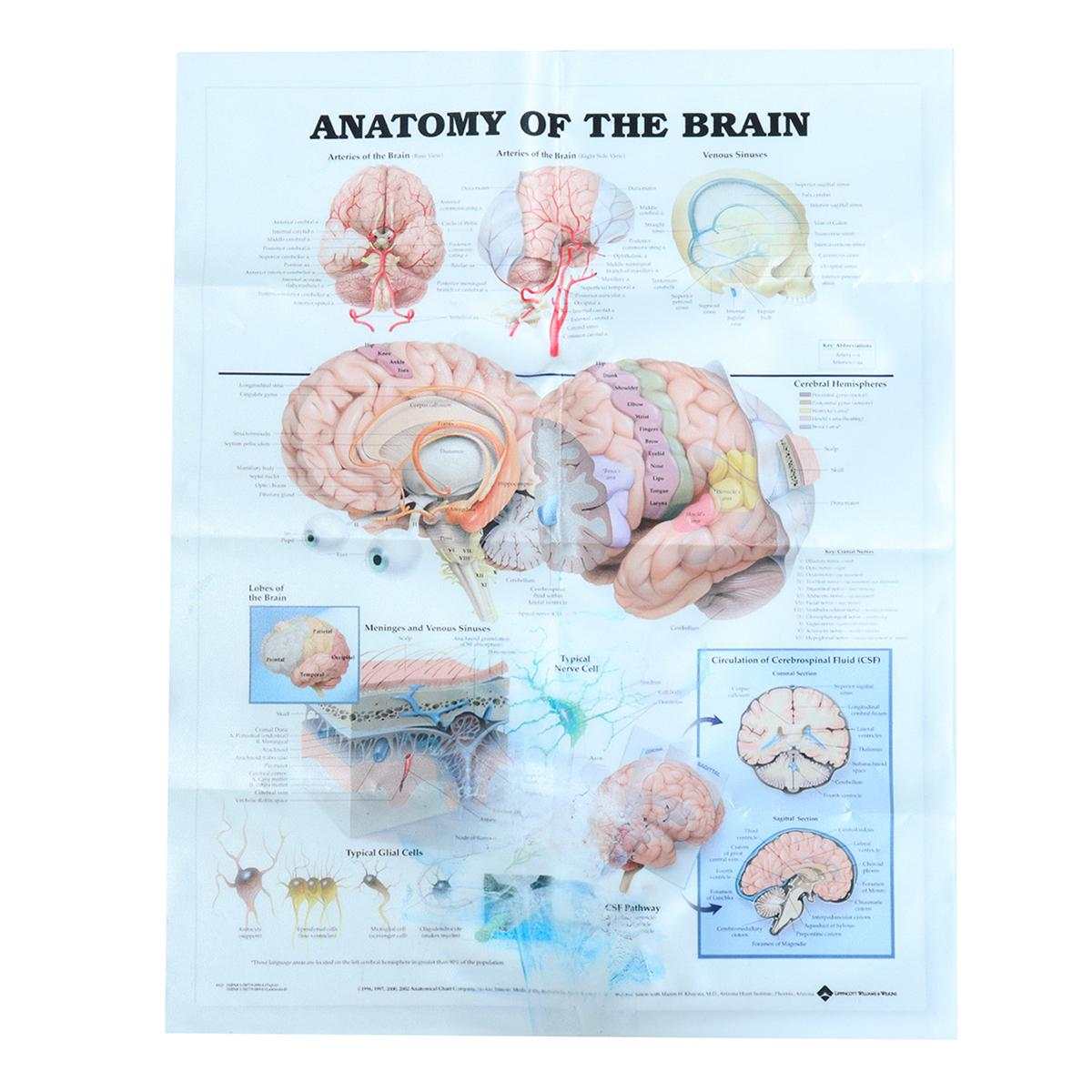 32cm*44cm  Human Anatomy Brain Art Silk Poster Print Inch Body Map Wall Pictures  For  Midcal Education