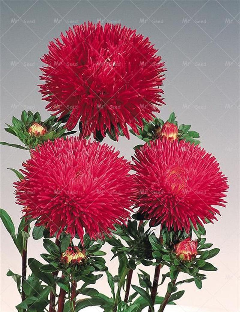 200pcs/bag aster plant aster flower bonsai flower plant rainbow ...