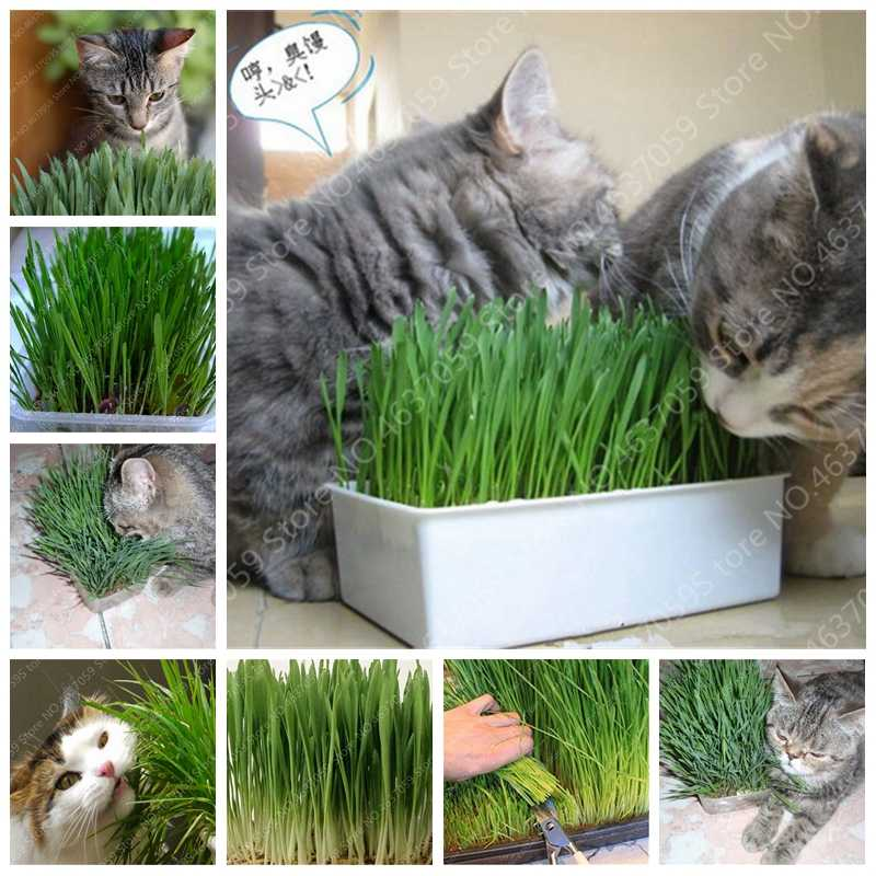 Sale! 1000 Pcs Cat Grass Bonsai Herb Edible Lemongrass Kitchen Vegetable Potted Plant Medicinal Use Graines Legumes Potager Free
