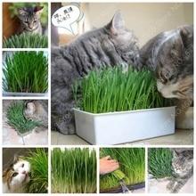 Sale! 1000 Pcs Cat Grass Bonsai Herb Edible Lemongrass Kitchen Vegetable Potted Plant Medicinal Use Graines Legumes Potager Free legumes