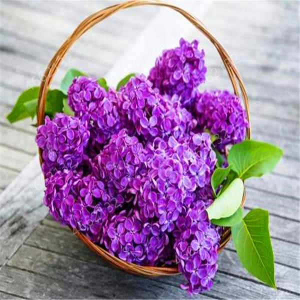 100 Pcs/ Bag Bonsai Lilac Japanese (Extremely Fragrant) Clove Flower Potted Lilac Trees Outdoor Plant for Home Garden Decoration