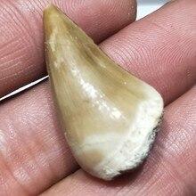 1 قطعة 20 30 مللي متر الطبيعي الحيوان الأحفوري mosasaur الأسنان الأحفوري العينات المعدنية لجمع وهدية ديكور قلادة شحن مجاني
