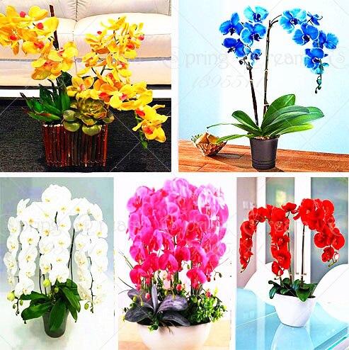 11.22 100pcs rare phalaenopsis orchid bonsai flower seeds, rare bonsai flower seeds plant for home garden