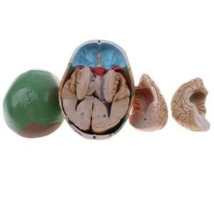 Image 2 - 1:1 crânio esqueleto humano colorido com cérebro adulto cabeça modelo com anatomia da haste do cérebro ferramenta de ensino médico fornecimento
