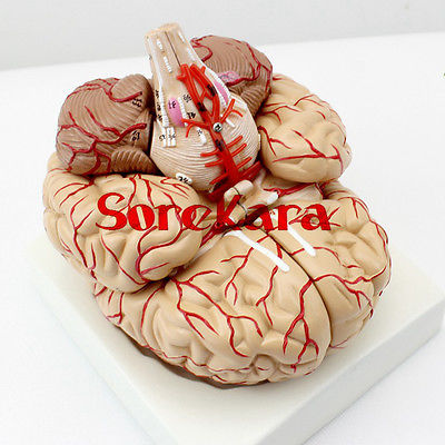 1:1 Human Anatomical Brain Professional New Dissection Medical Teaching Model School Hospital 4d anatomical human brain model anatomy medical teaching tool toy statues sculptures medical school use 7 2 6 10cm