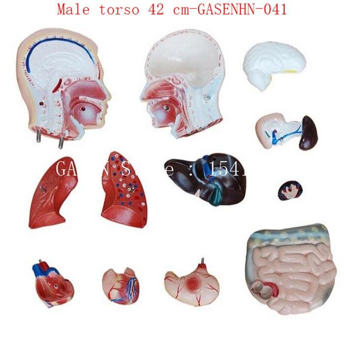 Schädel speiseröhre luftröhre aorta herz lungen magen membran leber ...