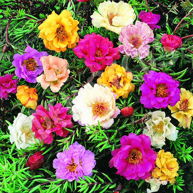 Portulaca Grandiflora Bonsai Couleur Mixte Mousse Rose Pourpier