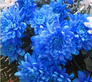 Blue Dahlia Seeds Beautiful Gardens  Plant Flower Seeds