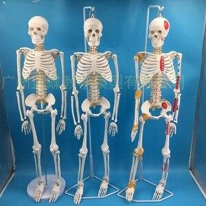Image 1 - 85 سنتيمتر قالب هيكل عظمي نموذج الإنسان مع العضلات العمود الفقري نظام العصب التدريس الطبي معدات تعليمية هيكل عظمي نموذج تشريح
