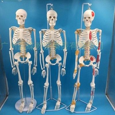 85 سنتيمتر قالب هيكل عظمي نموذج الإنسان مع العضلات العمود الفقري نظام العصب التدريس الطبي معدات تعليمية هيكل عظمي نموذج تشريح