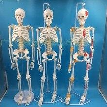 Modelo de esqueleto humano de 85cm, sistema nervioso de la columna vertebral, equipo de enseñanza educativa médica, modelo de anatomía de esqueleto