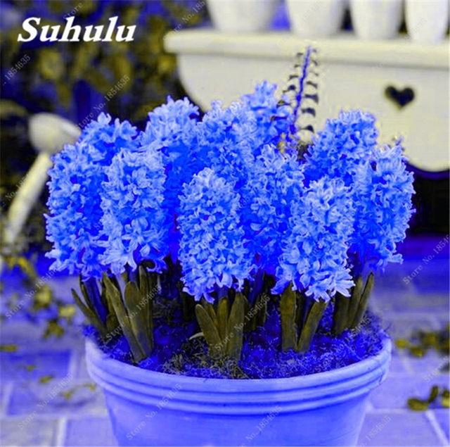 100 unids jacinto hyacinthus orientalis semillas plantas verdes de interior las plantas de flores fcil de cultivar jardn de diy planta en maceta - Plantas Verdes De Interior