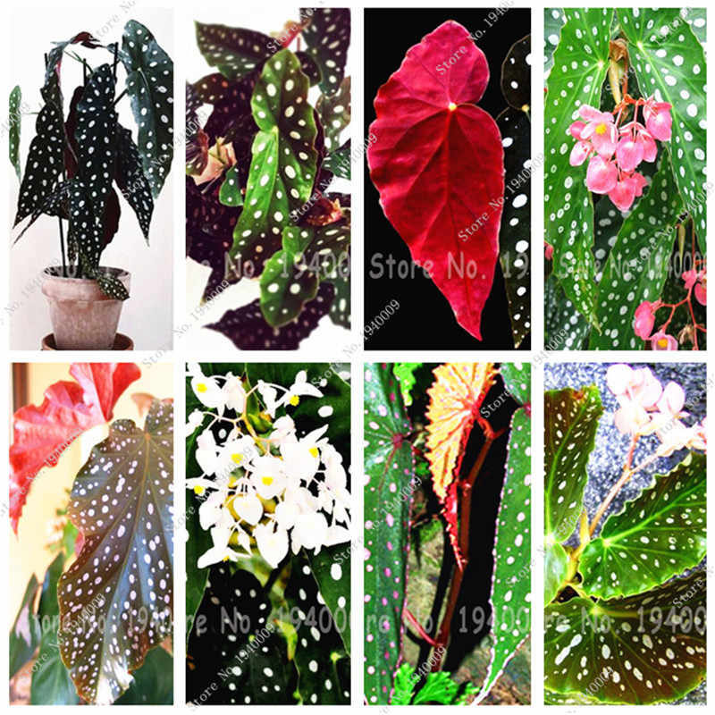 Multi colors 100pcs/bag Begonia seeds, Begonia Flowers seeds,bonsai flower seeds plant for home garden Coleus seeds
