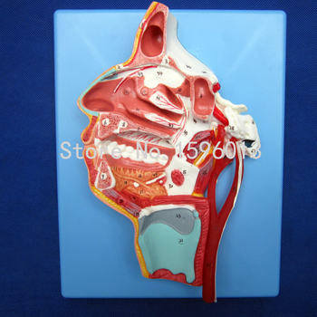 Nerves and Vessels in the Facial Skull model,  Mouth, Nose, Pharynx and Larynx with Vessels and Nerves Model