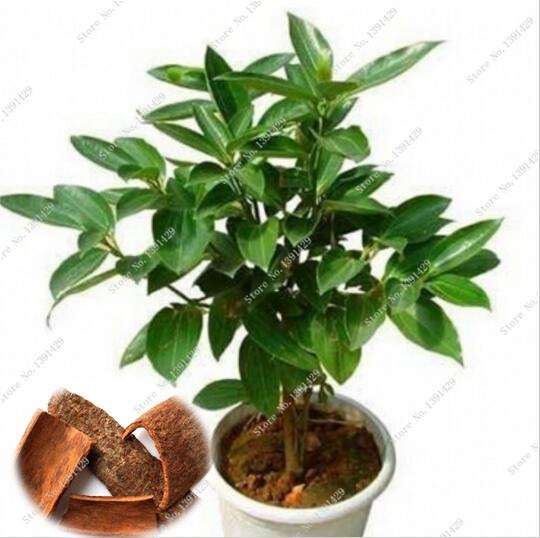 unids japons canela semillas semillas de rboles enanos olla bonsai de interior planta de jardn