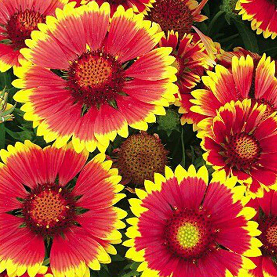 Bellfarm Bonsai Arizona Sun Gaillardia Indian Blanket Flower High