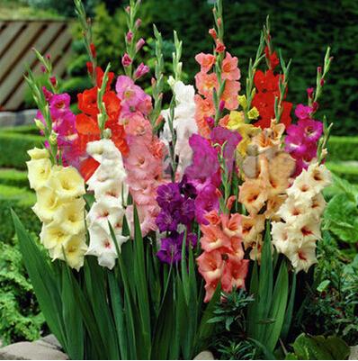 gladolo sementes gladolo sementes de flores aerbicos interior vasos de plantas pcs