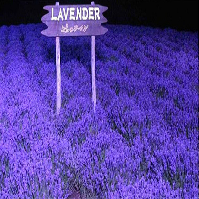 Hot Sale 100 Japanese Lavender Seeds Very Fragrant Flower Can Grow ...