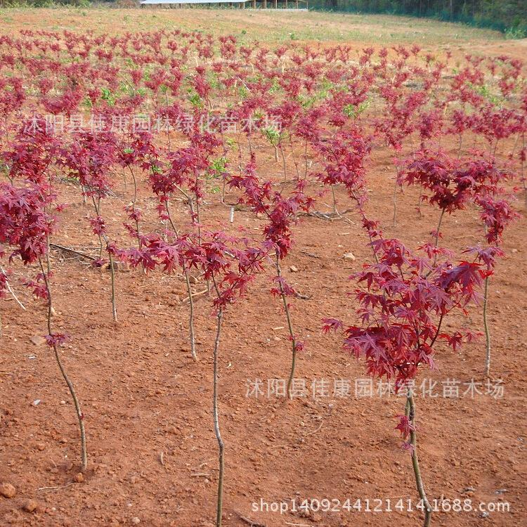 Japaneplante tree bloody red maple Acer palmatum plant Japaneplante Red Ribbon Red planttriperplant 200g Pack