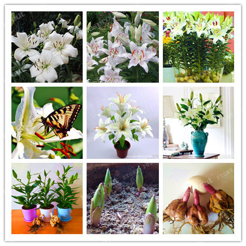 2 bulbs 100 true white lily bulbs not lily seeds flower indoor 2 bulbs 100 true white lily bulbs not lily seeds flower indoor plant mightylinksfo Choice Image