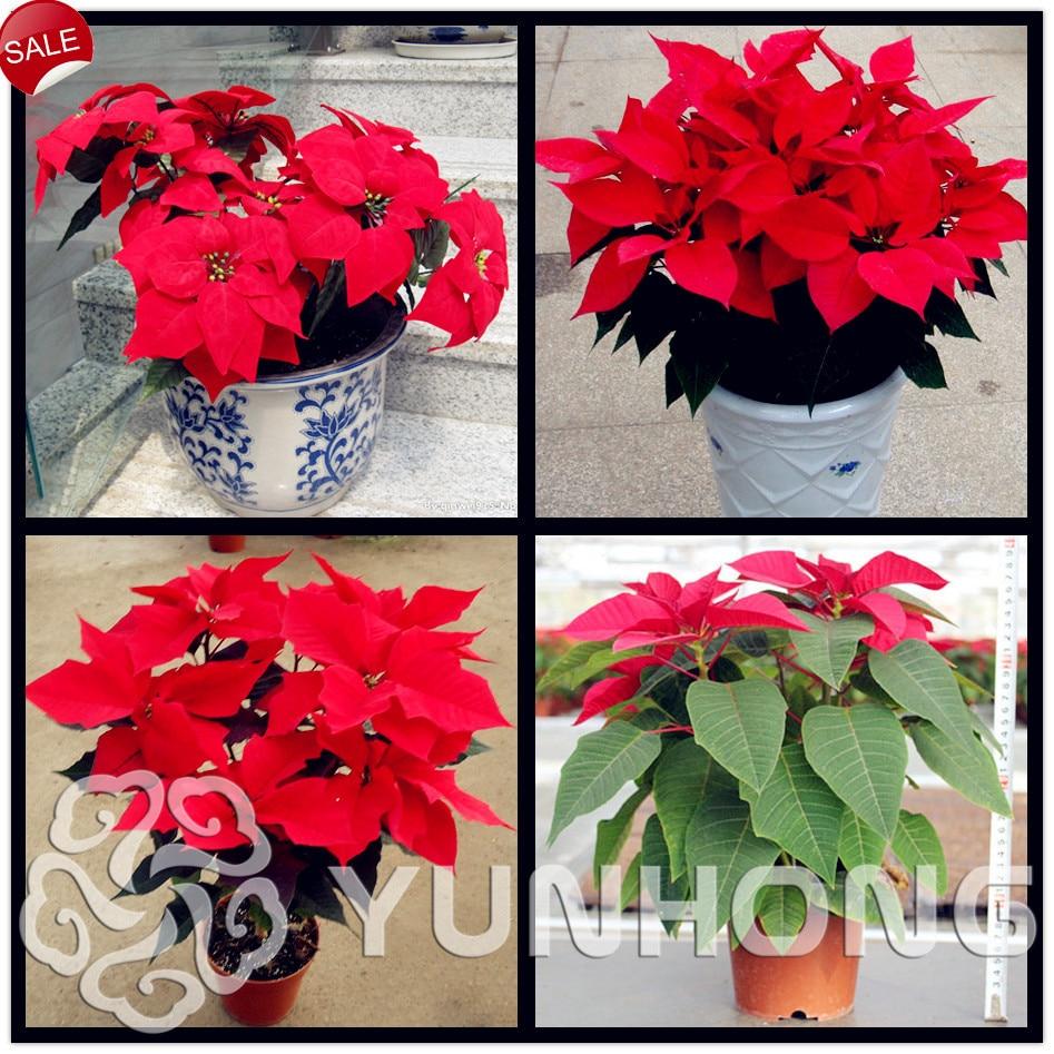 50 stuks Boronok bonsai, mooie bonsai zeldzame bloem bonsai, poinsettia amarant, kiemkracht 99% huis tuin