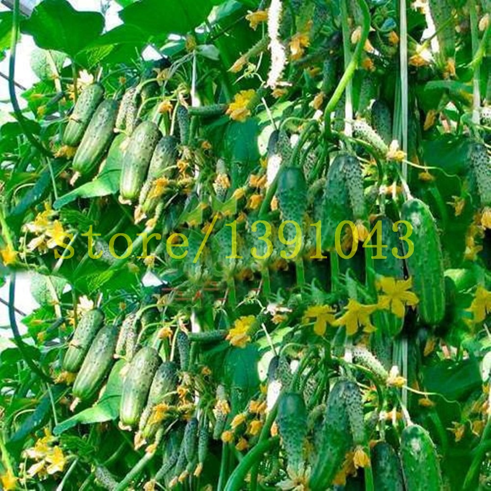 cucumber seeds 100 pcs japanese long cucumber seeds vegetable seeds for home NO-GMO seeds vegetables for home &garden planting