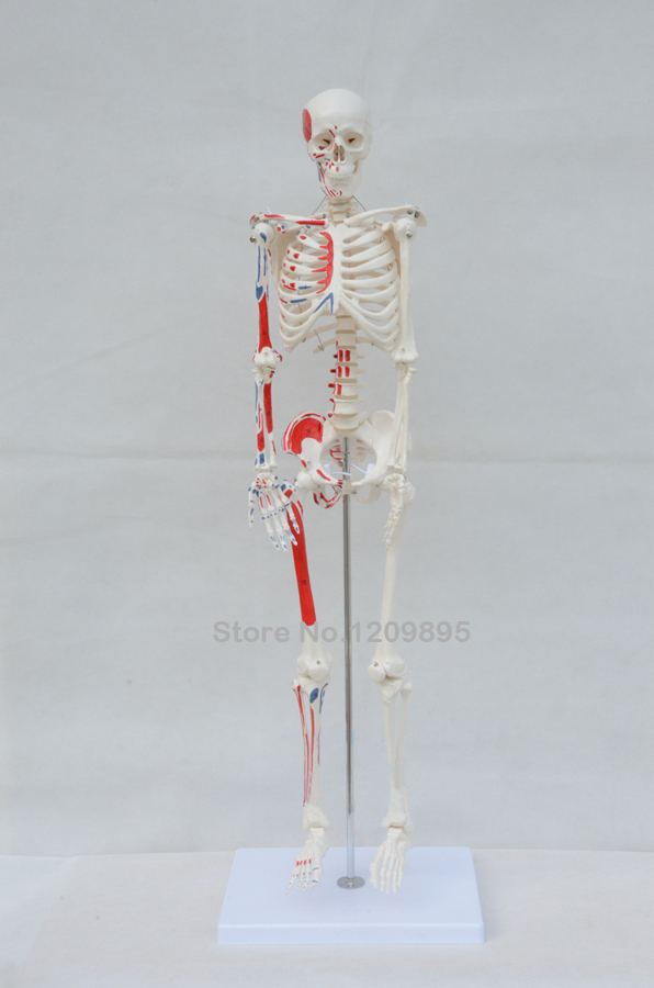 85CM human skeleton model, with muscle starting and ending point, boutique skeleton model, with herniated disk DHL free shipping bix a1005 human skeleton model with heart and vessels model 85cm wbw394