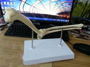 Dog elbow model dog skeleton model teaching application model free shipping