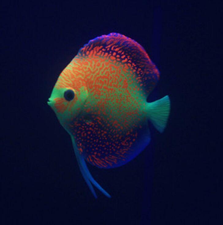 Compare prices on discus aquarium online shopping buy low for Discus fish price