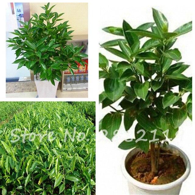 Immergrner Baum Zimt Samen Wohnzimmer Mini Bonsai Pflanzen Gesunde Gewrze Seltene 6