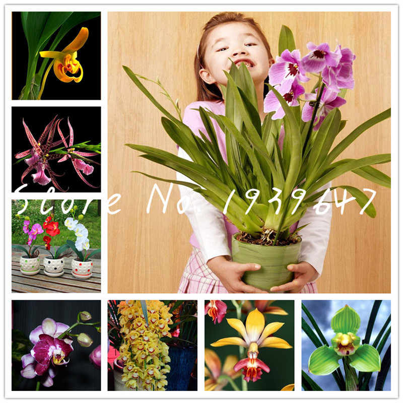 100 pcs Rare orchid flores,rare orchid bonsai plantas monkey face flower plante Natural growth flower bonsai for home garden