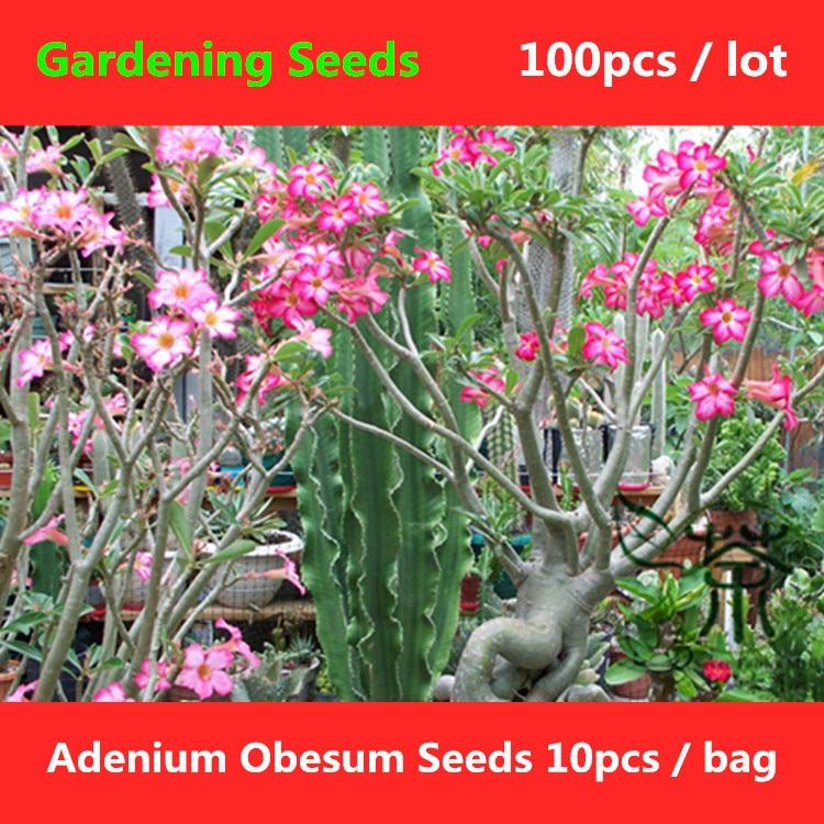 ^^Impala Lily Adenium Obesum ^^^^ 100pcs, Flowering Plant Desert Rose Gardening ^^^^, Family Apocynaceae Kudu Mock Azalea ^^^^ ...