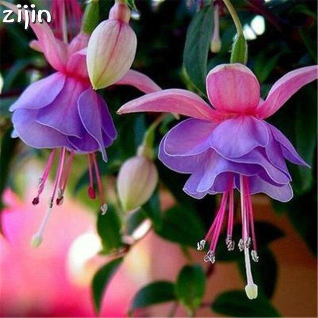 100 piezas de múltiples colores fucsia Bonsai hibrida Hort Flores bonsái linterna Flores para jardín hogar plantas de Floración interior