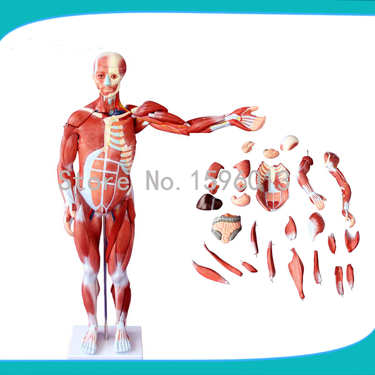 80cm Human muscles of male model 27 parts, Anatomical male muscles with internal Organs model male genital organs male genitalia anatomical model structure male reproductive organs decomposition model