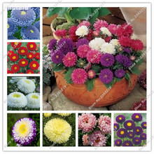 100 Pcs Aster Flower Seeds Rainbow Beautiful Rainbow Daisy For Home Garden Ornamental-plant