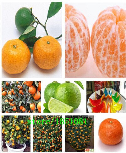 50pcs/bag Balcony Patio Potted Fruit Trees Planted Seeds Kumquat Seeds Orange Seeds Tangerine Citrus