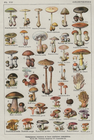VINTAGE FRENCH MUSHROOM CHART Poster SILK POSTER Decorative Painting  24x36inch