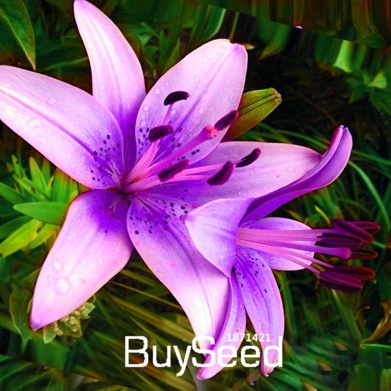 Big sale50 pcsbag rare purple pink lilium brownii seeds balcony big sale50 pcsbag rare purple pink lilium brownii seeds balcony bonsai courtyard plant flowers lily seedsslrwx9 in bonsai from home garden on mightylinksfo
