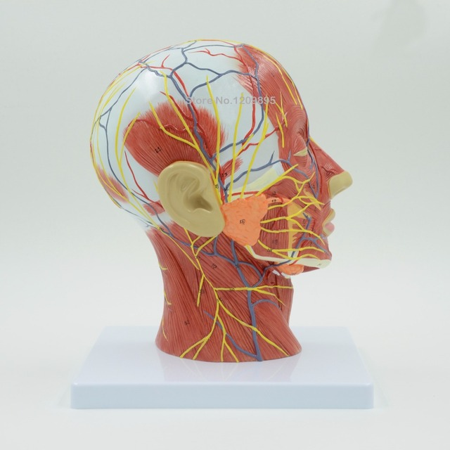 Cráneo humano con músculos y nervios sanguíneos, Sección de cabeza ...