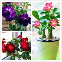 Desert Rose flores Potted Flowers plantas Adenium Obesum Indoor Bonsai Plant Mini Potted Tree For Home Garden Plant 5 Pcs.(China)