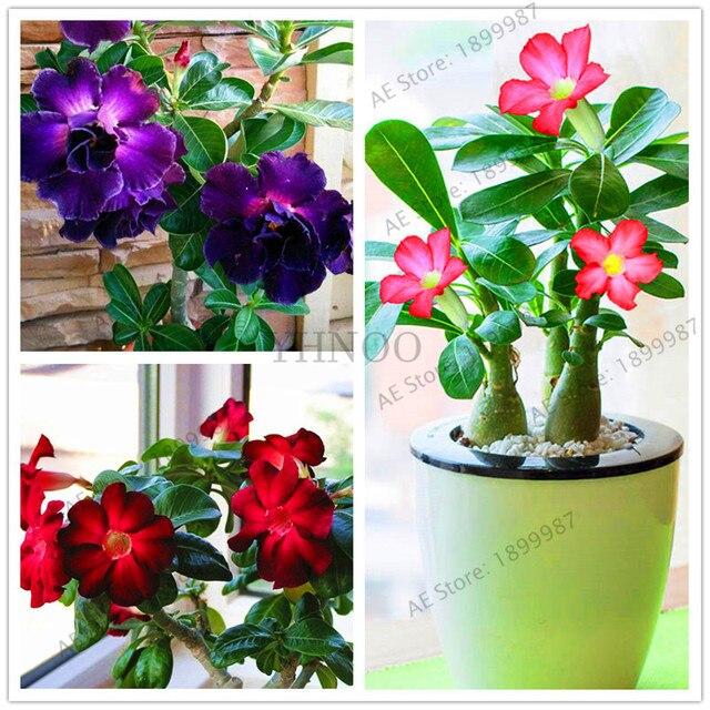 Rosa Do Deserto Adenium Obesum Bonsai Interior Plantas De Flores Em - Flores-interior