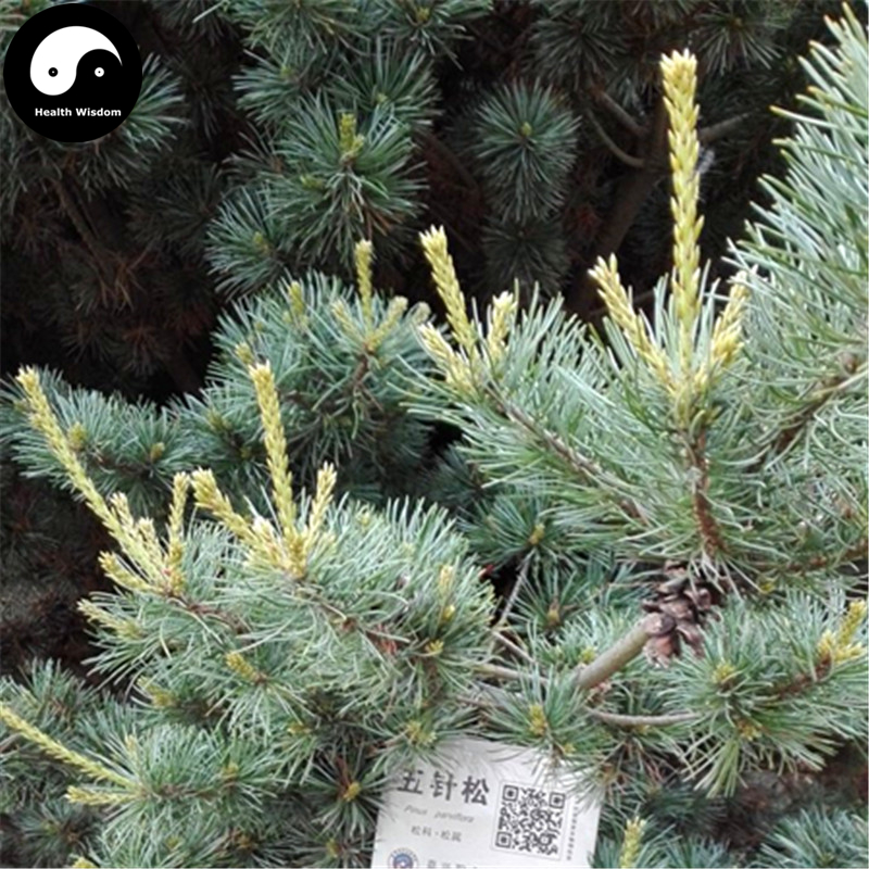 Buy Pinus Parviflora Tree Semente 60pcs Plant Pine Tree For China Wu Zhen Song
