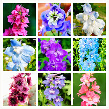 100pcs/bag  Larkspur Seeds, Consolida Ajacis, Delphinium Seeds