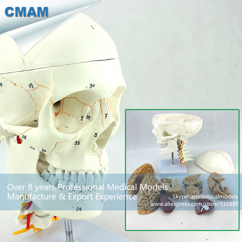 12327 CMAM-SKULL01-1 Medical Anatomy Cranial Nerve Plastic Skull Model 12569 cmam dental10 cranial nerve model in oral cavity medical science educational dental teaching models