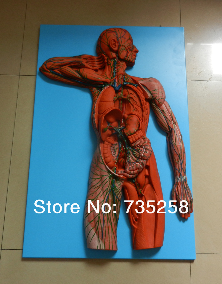 The lymphatic system model,Senior lymphatic system anatomical model iso detailed anatomical model of lymphatic system