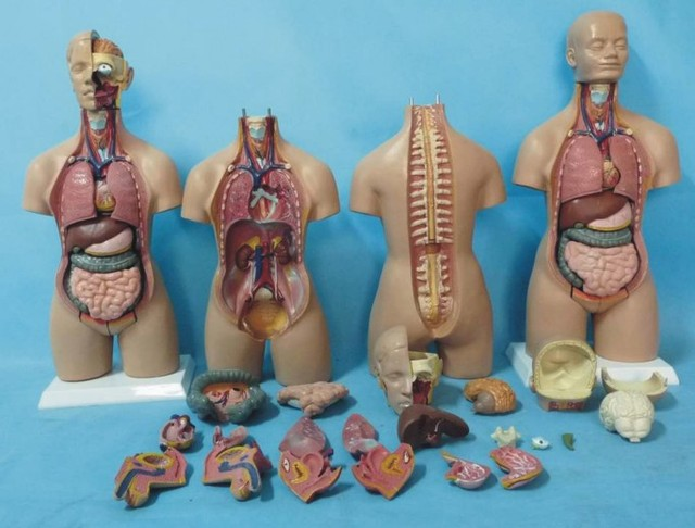55cm Sex Torso Anatomical Model With Removable Organs For The Sub 19
