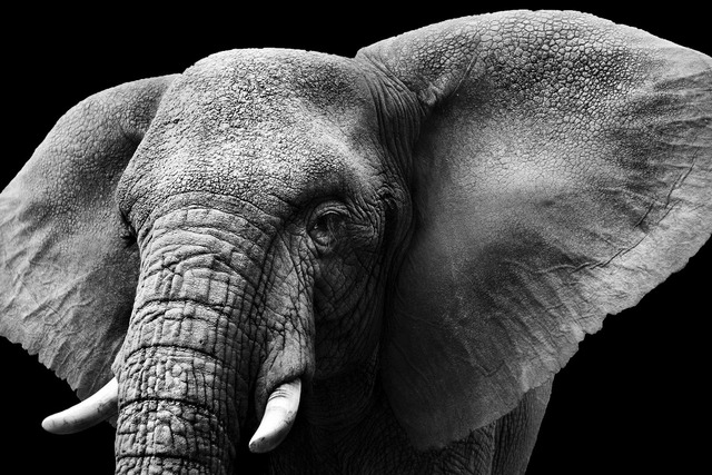 Black and white wild animal elephant portrait closeup photo sh30 room home wall modern art decor