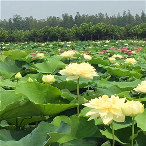 sale! beautiful yellow Bowl lotus Bonsai Hydroponic 5Pcs Plants Aquatic Plants Flower Pot Lotus Water Lily plant Bonsai Garden