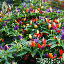 ФОТО multicolored pepper seeds in four seasons color pepper garden terrace potted vegetable seeds super hot 200seeds